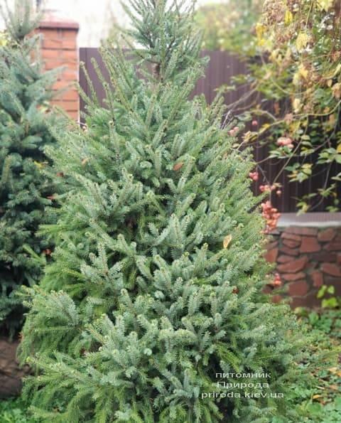 Ель Сербская (Picea omorica) ФОТО Питомник растений Природа (10)