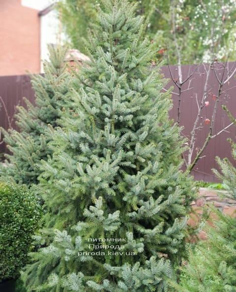 Ель Сербская (Picea omorica) ФОТО Питомник растений Природа (12)