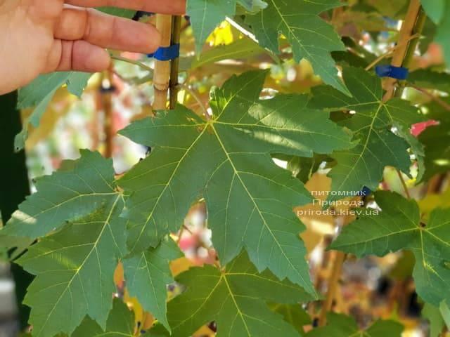 Клен Фрімана Отем Фентезі (Acer r. X freemanii Autumn Fantasy) ФОТО Розплідник рослин Природа (1)