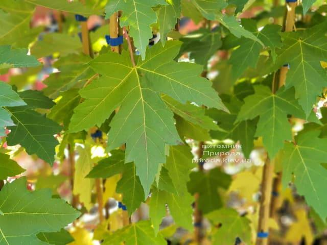 Клен Фрімана Отем Фентезі (Acer r. X freemanii Autumn Fantasy) ФОТО Розплідник рослин Природа (2)
