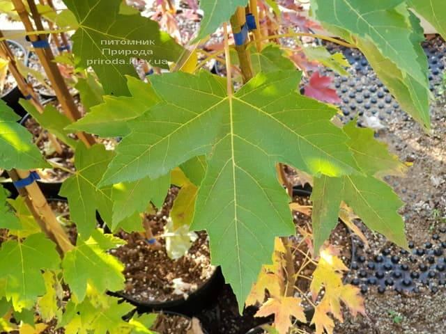 Клен Фрімана Отем Фентезі (Acer r. X freemanii Autumn Fantasy) ФОТО Розплідник рослин Природа (3)