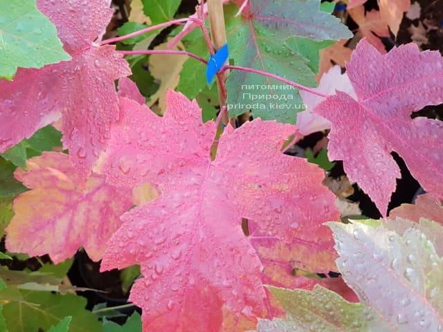 Клен Фрімана Отем Фентезі (Acer r. X freemanii Autumn Fantasy) ФОТО Розплідник рослин Природа (4)