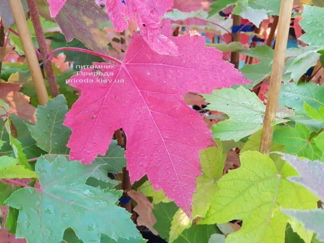 Клён Фримана Отем Фентези (Acer r. x freemanii Autumn Fantasy) ФОТО Питомник растений Природа (5)