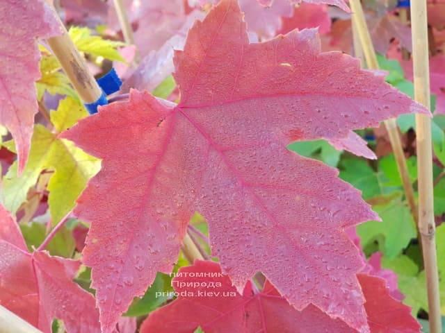 Клен Фрімана Отем Фентезі (Acer r. X freemanii Autumn Fantasy) ФОТО Розплідник рослин Природа (6)