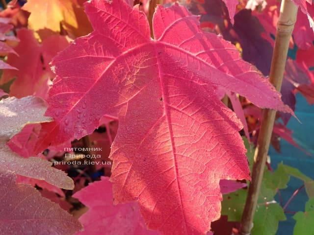Клен Фрімана Отем Фентезі (Acer r. X freemanii Autumn Fantasy) ФОТО Розплідник рослин Природа (7)