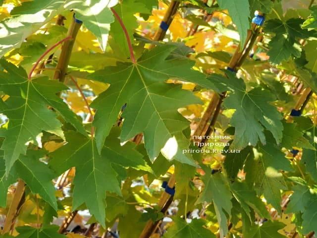 Клён Фримана Сиена Глен (Acer r. x freemanii Sienna Glen) ФОТО Питомник растений Природа (1)