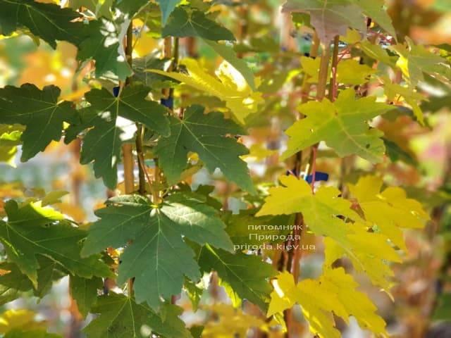 Клён Фримана Сиена Глен (Acer r. x freemanii Sienna Glen) ФОТО Питомник растений Природа (2)