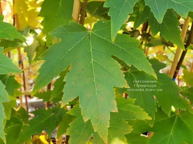 Клён Фримана Сиена Глен (Acer r. x freemanii Sienna Glen) ФОТО Питомник растений Природа (3)