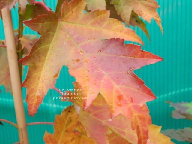 Клён Фримана Сиена Глен (Acer r. x freemanii Sienna Glen) ФОТО Питомник растений Природа (8)