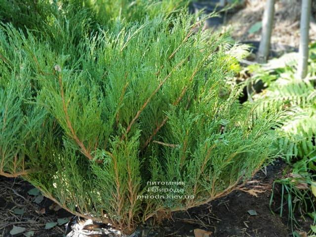 Можжевельник казацкий (Juniperus sabina) ФОТО Питомник растений Природа (1)