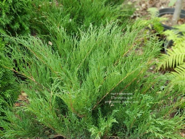 Можжевельник казацкий (Juniperus sabina) ФОТО Питомник растений Природа (4)