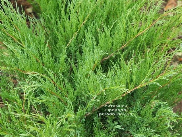Можжевельник казацкий (Juniperus sabina) ФОТО Питомник растений Природа (5)