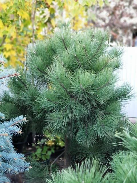 Сосна Орегонская (Жёлтая) (Pinus ponderosa) ФОТО Питомник растений Природа (1)