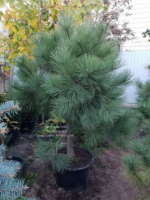 Сосна Орегонская (Жёлтая) (Pinus ponderosa) ФОТО Питомник растений Природа (2)