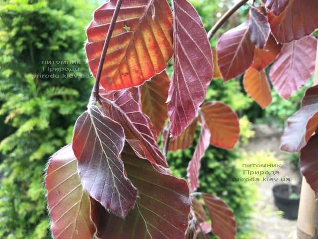 Бук лесной краснолистный плакучий (Fagus sylvatica Purple Fountain) ФОТО Питомник растений Природа (1)