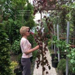 Бук лесной краснолистный плакучий (Fagus sylvatica Purple Fountain) ФОТО Питомник растений Природа (2)