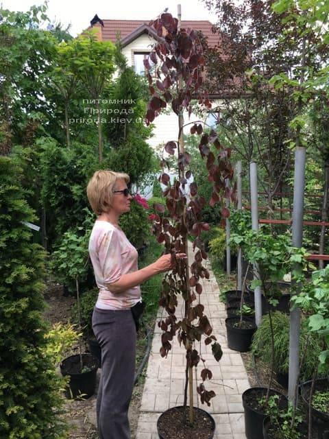 Бук лісовий краснолістний плакучий (Fagus sylvatica Purple Fountain) ФОТО Розплідник рослин Природа (2)
