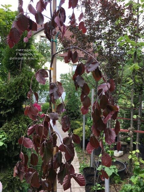 Бук лісовий краснолістний плакучий (Fagus sylvatica Purple Fountain) ФОТО Розплідник рослин Природа (3)