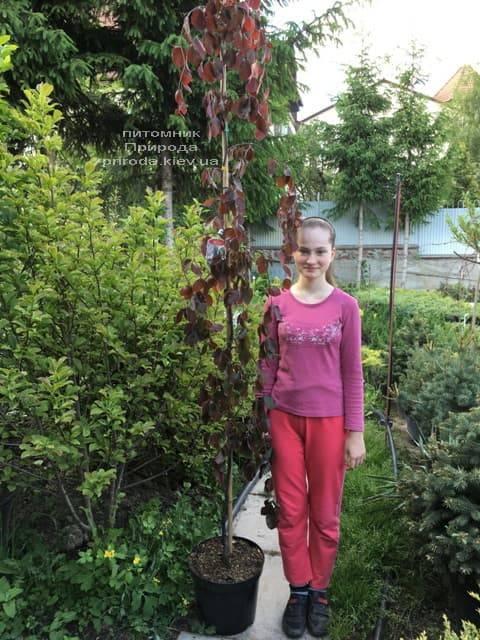 Бук лісовий краснолістний плакучий (Fagus sylvatica Purple Fountain) ФОТО Розплідник рослин Природа (6)