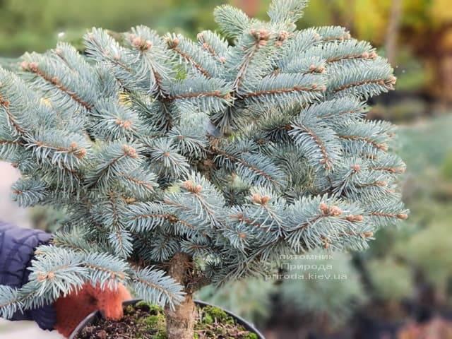 Ель голубая Биалобок (Picea pungens Bialobok) ФОТО Питомник растений Природа (2)