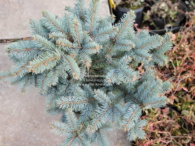 Ель голубая Биалобок (Picea pungens Bialobok) ФОТО Питомник растений Природа (3)