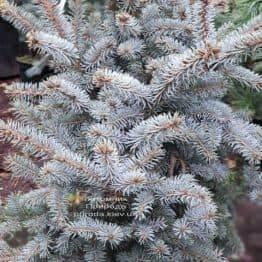 Ель голубая Блю Тринкет (Picea pungens Blue Trinket) ФОТО Питомник растений Природа (2)
