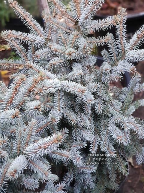 Ель голубая Блю Тринкет (Picea pungens Blue Trinket) ФОТО Питомник растений Природа (4)
