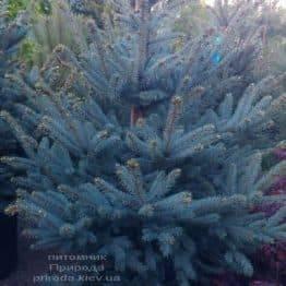 Ель голубая Фат Альберт (Picea pungens Fat Albert) ФОТО Питомник растений Природа (1)