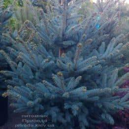 Ялина блакитна Фат Альберт (Picea pungens Fat Albert) ФОТО Розплідник рослин Природа (1)
