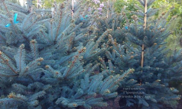Ель голубая Фат Альберт (Picea pungens Fat Albert) ФОТО Питомник растений Природа (4)