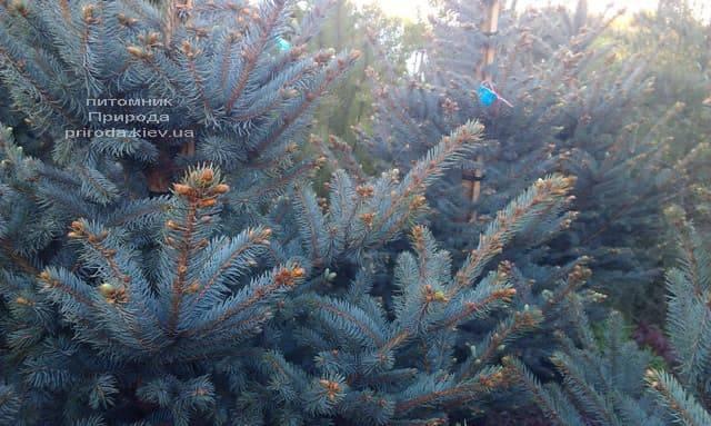 Ель голубая Фат Альберт (Picea pungens Fat Albert) ФОТО Питомник растений Природа (5)
