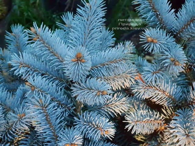 Ель Глаука Глобоза (Picea pungens Glauca Globosa) ФОТО Питомник растений Природа (7)