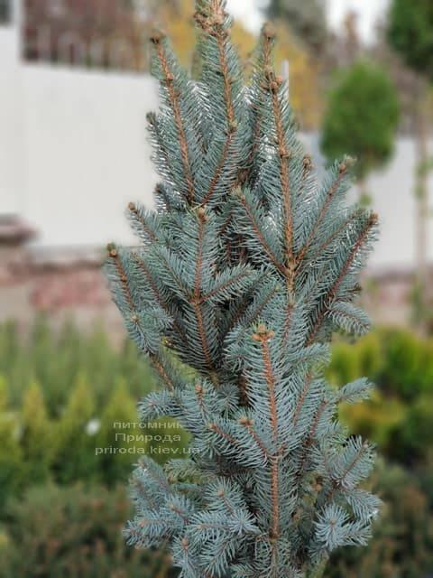 Ель голубая Исели Фастигиата (Picea pungens Iseli Fastigiata) ФОТО Питомник растений Природа (Priroda) (4)