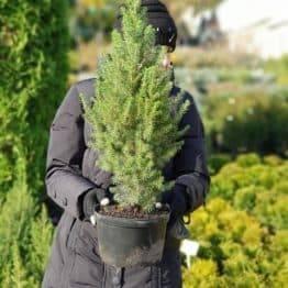 Ялина канадська Коніка (Picea glauca Conica) ФОТО Розплідник рослин Природа (7)