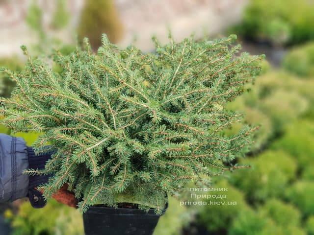 Ель обыкновенная Нидиформис (Picea abies Nidiformis) ФОТО Питомник растений Природа (7)