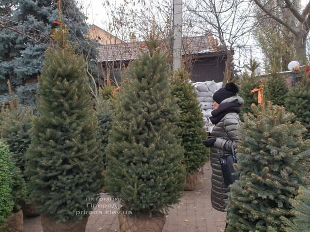 Ель зелёная колючая Глаука (Picea pungens Glauca) ФОТО Питомник растений Природа (25)