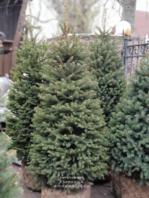 Ялина зелена колюча Глаука (Picea pungens Glauca) ФОТО Розплідник рослин Природа (24)