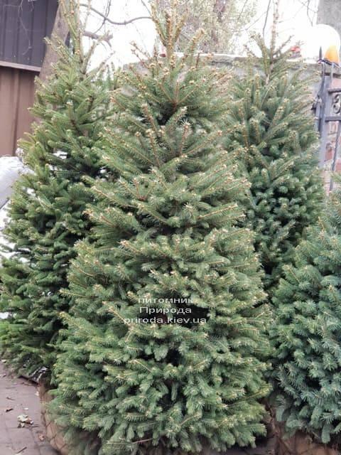 Ялина зелена колюча Глаука (Picea pungens Glauca) ФОТО Розплідник рослин Природа (21)