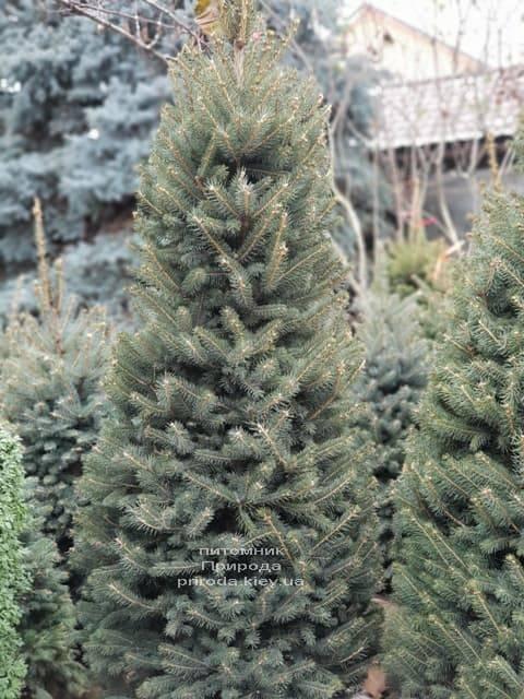 Ялина зелена колюча Глаука (Picea pungens Glauca) ФОТО Розплідник рослин Природа (22)