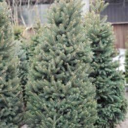 Ялина зелена колюча Глаука (Picea pungens Glauca) ФОТО Розплідник рослин Природа (23)