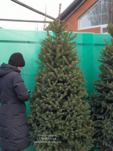Ель зелёная колючая Глаука (Picea pungens Glauca) ФОТО Питомник растений Природа (26)