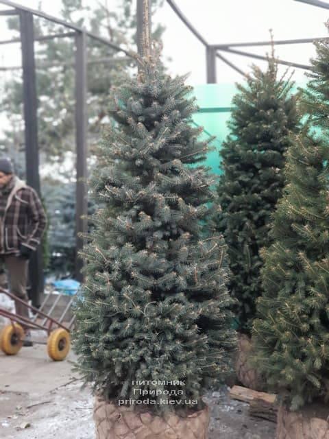 Ялина зелена колюча Глаука (Picea pungens Glauca) ФОТО Розплідник рослин Природа (27)