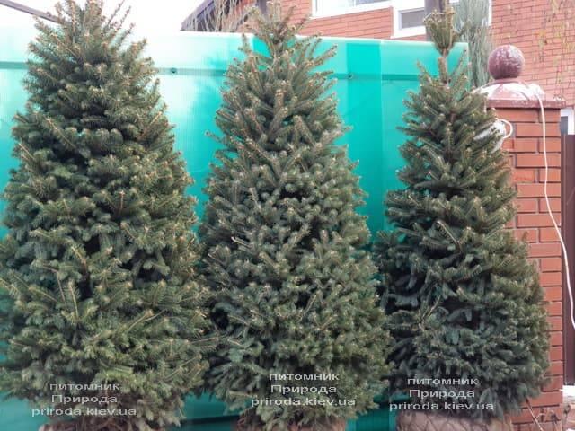 Ель зелёная колючая Глаука (Picea pungens Glauca) ФОТО Питомник растений Природа (28)