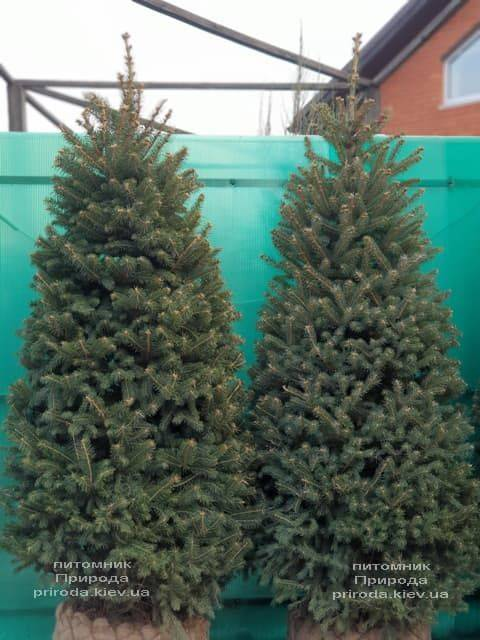Ялина зелена колюча Глаука (Picea pungens Glauca) ФОТО Розплідник рослин Природа (29)