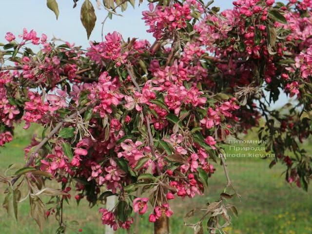 Яблуня райська декоративна Роял Бьюті (Malus Royal Beauty) плакуча на штамбі ФОТО Розплідник рослин Природа (1)