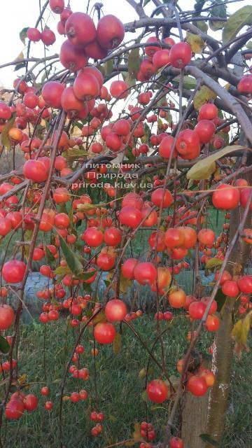 Яблуня райська декоративна Роял Бьюті (Malus Royal Beauty) плакуча на штамбі ФОТО Розплідник рослин Природа (3)