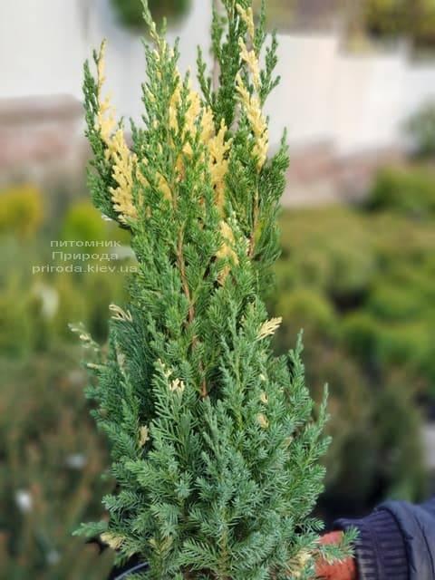 Можжевельник китайский Вариегата (Juniperus chinensis Variegata) ФОТО Питомник растений Природа (1)
