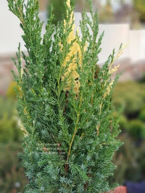 Можжевельник китайский Вариегата (Juniperus chinensis Variegata) ФОТО Питомник растений Природа (3)