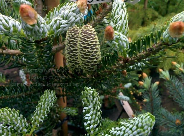Ялиця корейська Сілберлок (Abies koreana Silberlocke) ФОТО Розплідник рослин Природа (3)