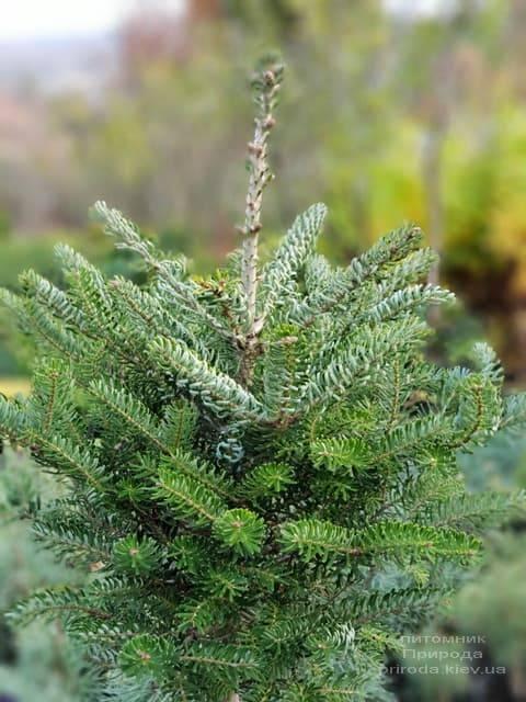 Ялиця корейська Сілберлок (Abies koreana Silberlocke) ФОТО Розплідник рослин Природа (4)